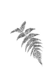 ウラジロ 裏白 水墨画風 モノトーン 素材のイラスト素材 [FYI03597264]