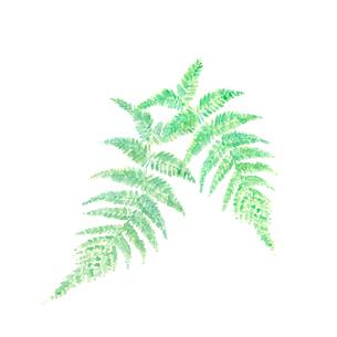 ウラジロ 裏白 水彩 素材のイラスト素材 [FYI03597277]