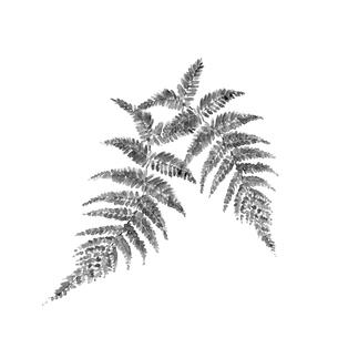 ウラジロ 裏白 水墨画風 モノトーン 素材のイラスト素材 [FYI03597413]