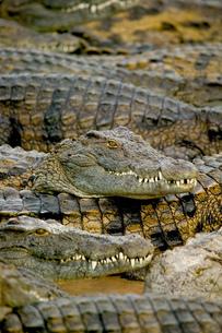 Group of crocodiles in wildlife park, Djerba, Tunisiaの写真素材 [FYI03597558]