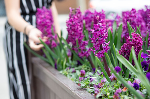 Mid section of young woman's hand touching purple hyacinth in planterの写真素材 [FYI03598815]