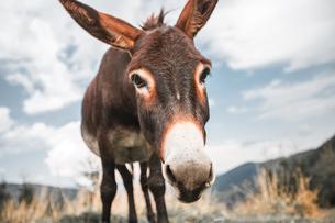 Portrait of donkeyの写真素材 [FYI03600225]
