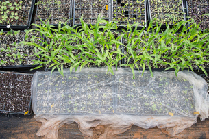 Overhead view of seedling in seed trayの写真素材 [FYI03600553]