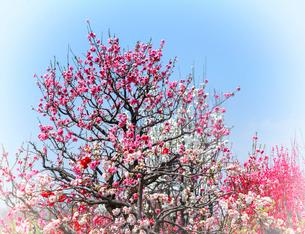 大阪城公園桃園の花桃の写真素材 [FYI03600559]