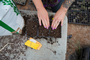 Cropped view of woman planting watermelon seeds in seed traysの写真素材 [FYI03600560]