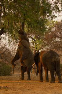 African elephant (Loxodonta africana) on hind legs feeding from tree, Chirundu, Zimbabwe, Africaの写真素材 [FYI03601186]