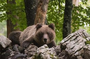 European brown bear (Ursus arctos) in Notranjska forest, Sloveniaの写真素材 [FYI03601368]