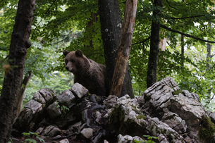 European brown bear (Ursus arctos) looking down from rocks in Notranjska forest, Sloveniaの写真素材 [FYI03601369]