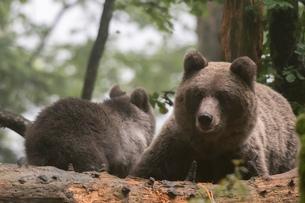 Two european brown bears (Ursus arctos) in Notranjska forest, Sloveniaの写真素材 [FYI03601370]