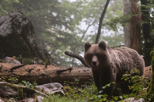 European brown bear (Ursus arctos) in Notranjska forest, Sloveniaの写真素材 [FYI03601372]