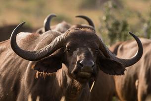 Portrait of an African buffalo (Syncerus caffer), Tsavo, Kenya, Africaの写真素材 [FYI03601450]