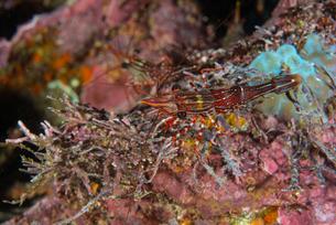 Striped shrimp by coral, Seymour, Galapagos, Ecuador, South Americaの写真素材 [FYI03601842]