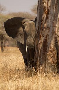 Portrait of african bush elephant (Loxodonta africana), Tarangire National Park, Tanzania, Africaの写真素材 [FYI03601858]