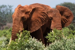 Two African elephants (Loxodonta africana) walking in  bush, Tsavo, Kenyaの写真素材 [FYI03601966]