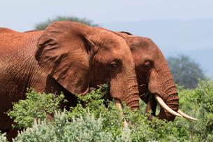 Two African elephants (Loxodonta africana) walking in  bush, Tsavo, Kenyaの写真素材 [FYI03601970]