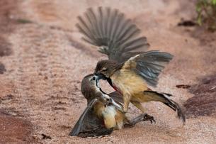 Two rosy-patched bush-shrike Rhodophoneus cruentus) fighting on dirt track, Tsavo, Kenyaの写真素材 [FYI03601972]