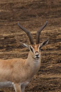 Thomson's Gazelle, Eudorcus thomsonii, Ngorogoro Crater, Tanzaniaの写真素材 [FYI03602208]