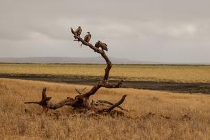 Vulture, Trigonoceps occipitalis, Tarangire National Park, Tanzaniaの写真素材 [FYI03602218]