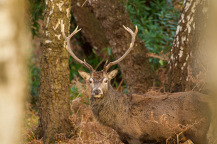 Portrait of Red Deer (Cervus elaphus) in rural settingの写真素材 [FYI03602244]