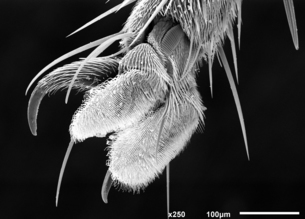 Foot of house fly (Muscidae) imaged in a scanning electron microscope, B&Wの写真素材 [FYI03602706]