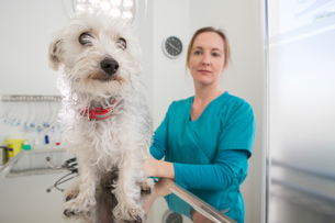 Vet with terrier poodle mixed breed dog on tableの写真素材 [FYI03602806]