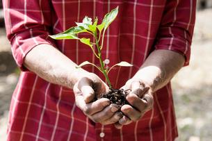 Man planting seedlingの写真素材 [FYI03602879]