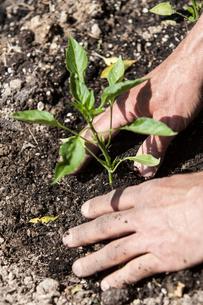 Man planting seedlingの写真素材 [FYI03602880]
