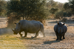 Two white rhinoceroses (Ceratotherium simum) in the bush, Kalahari, Botswanaの写真素材 [FYI03603009]