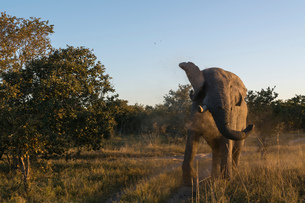 African elephant (Loxodonta africana) in the bush, Moremi Game Reserve, Okavango Delta, Botswanaの写真素材 [FYI03603016]