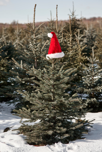 Santa hat on top of christmas tree in forestの写真素材 [FYI03604356]