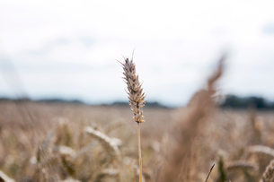 Wheat growing in field, close-upの写真素材 [FYI03604402]