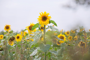 Sunflowers growing in field, close-upの写真素材 [FYI03604403]