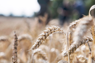 Wheat growing in field, close-upの写真素材 [FYI03604404]