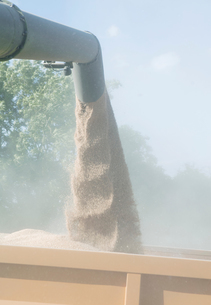 Wheat grain pouring from combine harvester, close-upの写真素材 [FYI03604406]