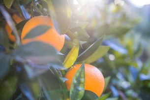 Oranges growing on treeの写真素材 [FYI03604574]