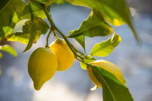 Lemons growing on treeの写真素材 [FYI03604576]