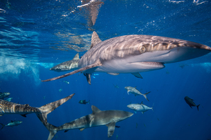 Sharks swimming in sea, Socorro, Baja Californiaの写真素材 [FYI03604595]