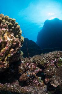 Lobster on seabed rocks, Socorro, Baja California, Mexicoの写真素材 [FYI03604621]