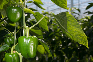 Close up of pepper growing on plant, Zevenbergen, North Brabant, Netherlandsの写真素材 [FYI03605872]