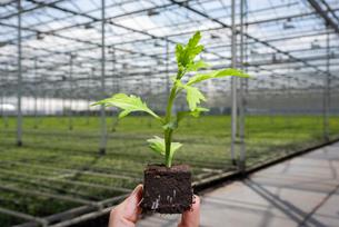 Single chrysanthemum seedling, chrysanthemums in background in modern Dutch greenhouse, Maasdijk, Zuの写真素材 [FYI03607492]