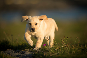 Labrador puppy, walking outdoors, Doolin, Clare, Irelandの写真素材 [FYI03607681]