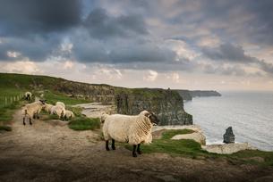 Sheep on rural pathway, Cliffs of Moher, Doolin, Clare, Irelandの写真素材 [FYI03607693]