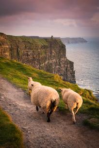 Sheep on rural pathway, Cliffs of Moher, Doolin, Clare, Irelandの写真素材 [FYI03607696]