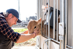 Dairy farm worker checking wellbeing of his calfの写真素材 [FYI03607703]