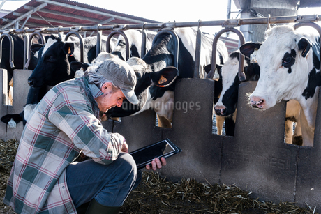 Dairy farm worker checking wellbeing of his cowsの写真素材 [FYI03607707]