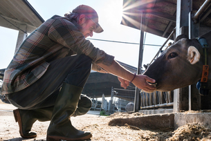 Dairy farm worker checking wellbeing of his cowsの写真素材 [FYI03607711]