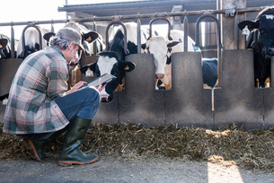 Dairy farm worker checking wellbeing of his cowsの写真素材 [FYI03607716]