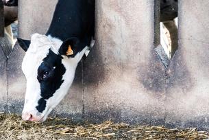 Dairy cowの写真素材 [FYI03607718]