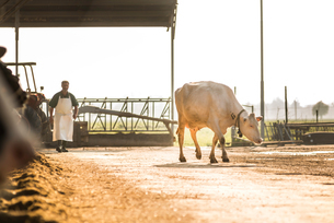 Dairy cow, farm worker in backgroundの写真素材 [FYI03607760]