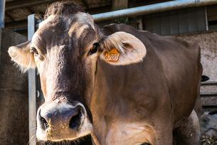 Dairy cowの写真素材 [FYI03607765]